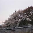 16桜が満開