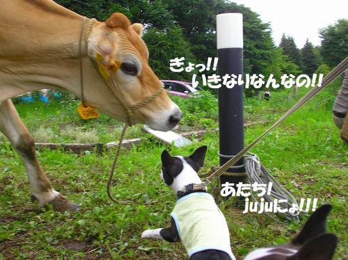 12.牛とjuju