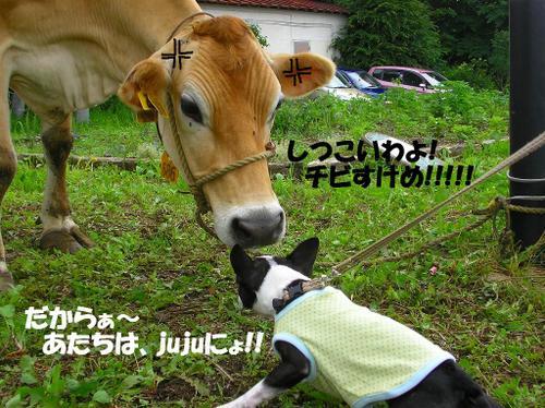 13.牛とjuju②