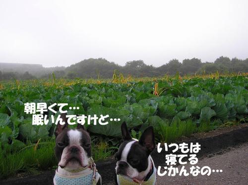 13.キャベツ畑
